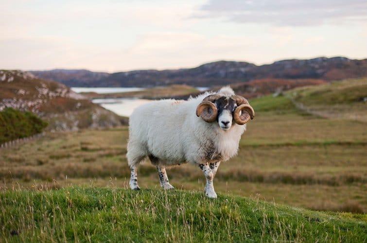 Harris Tweed von den Äußeren Hebriden